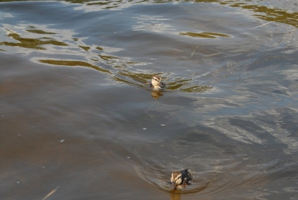 ducklings on the move