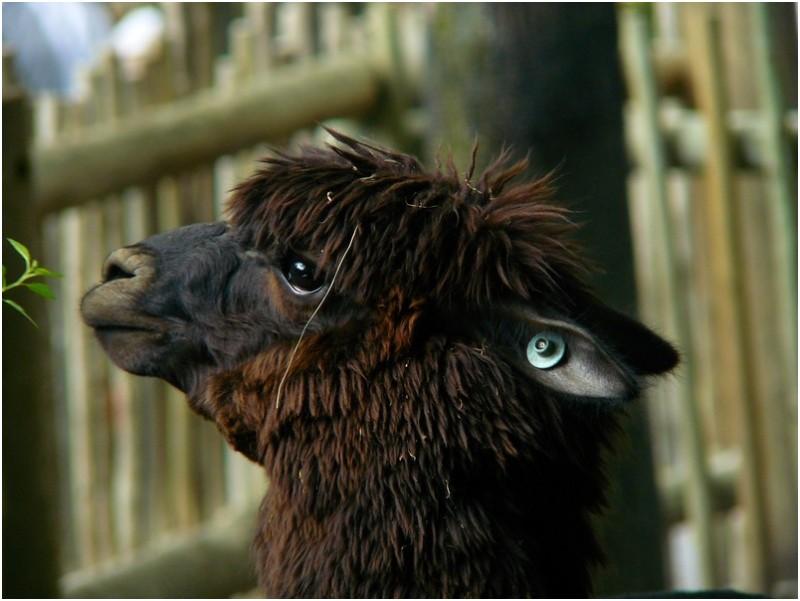 Voici un magnifique Lama