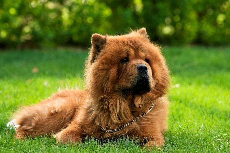 Dog, chow chow, portrait, animal,