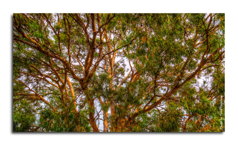 HDR River Red Gum