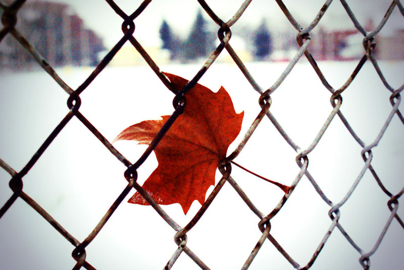 leaf in a fence.