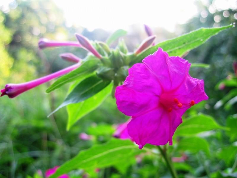 purple northern garden