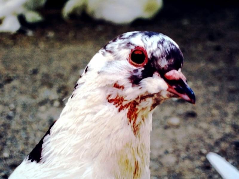 bird red eye