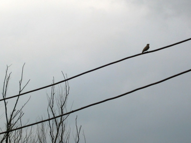 bird wire sing song