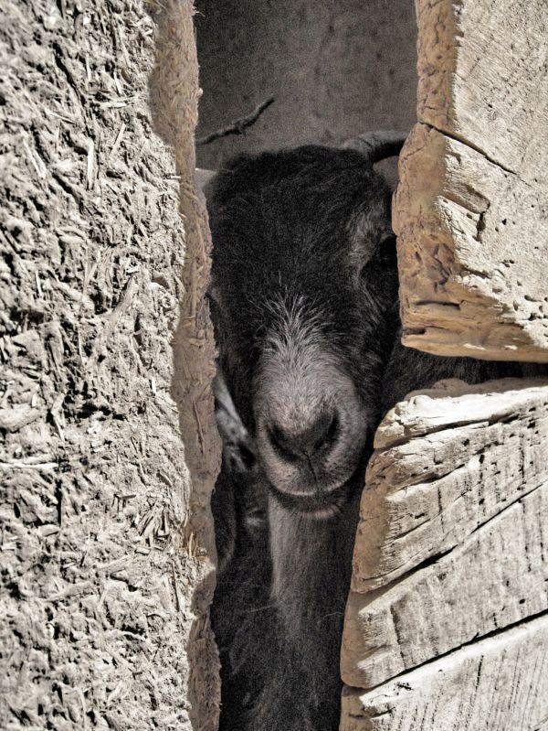 friend goat alone