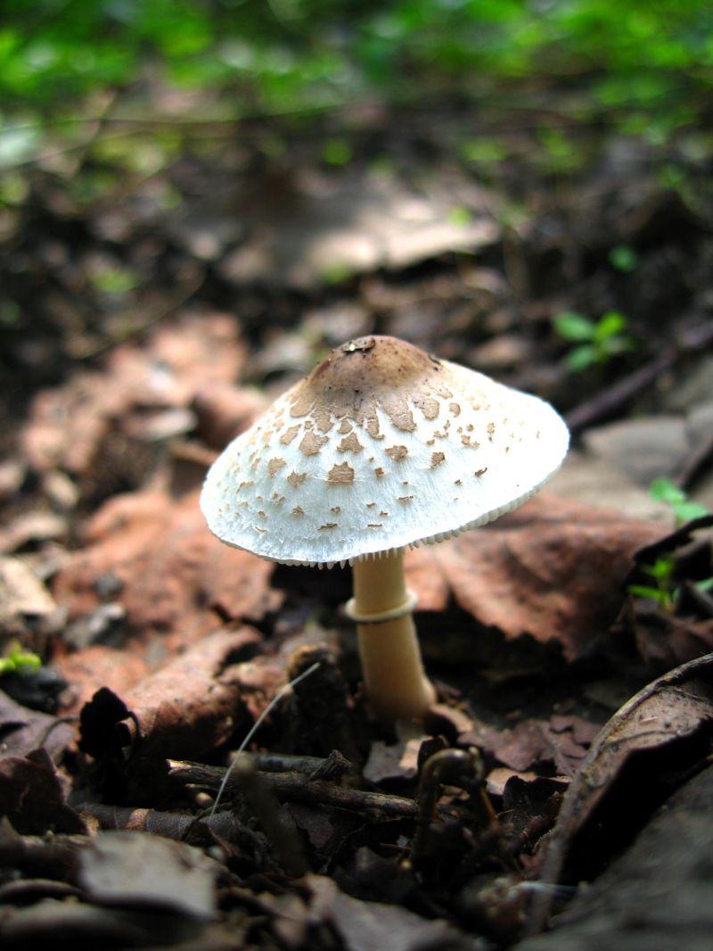 umbrella mushroom nature chamestan
