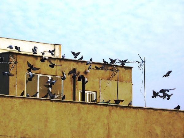pigeons city building fly