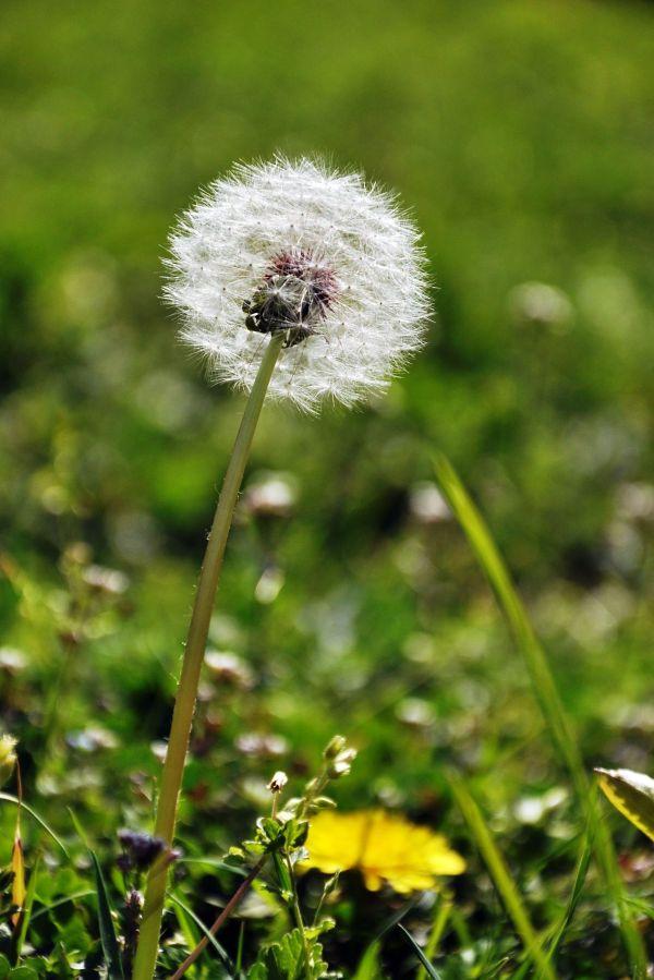 dandelion spring