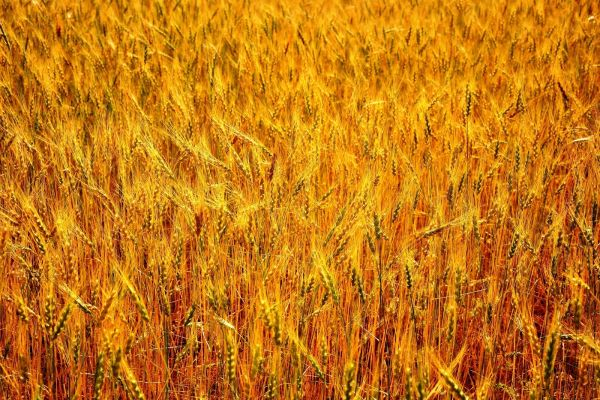 silence wheat triumphant roar famine freedom