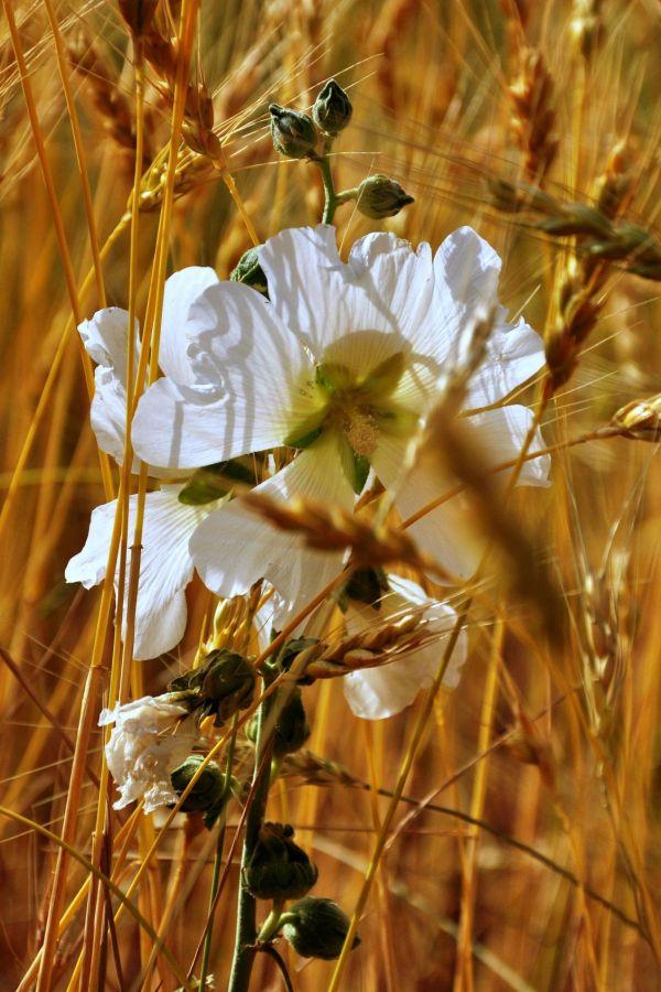 tender hands flower wheat