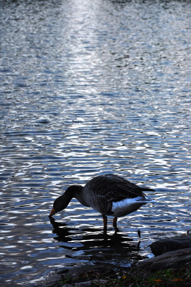 insatiable bird lake