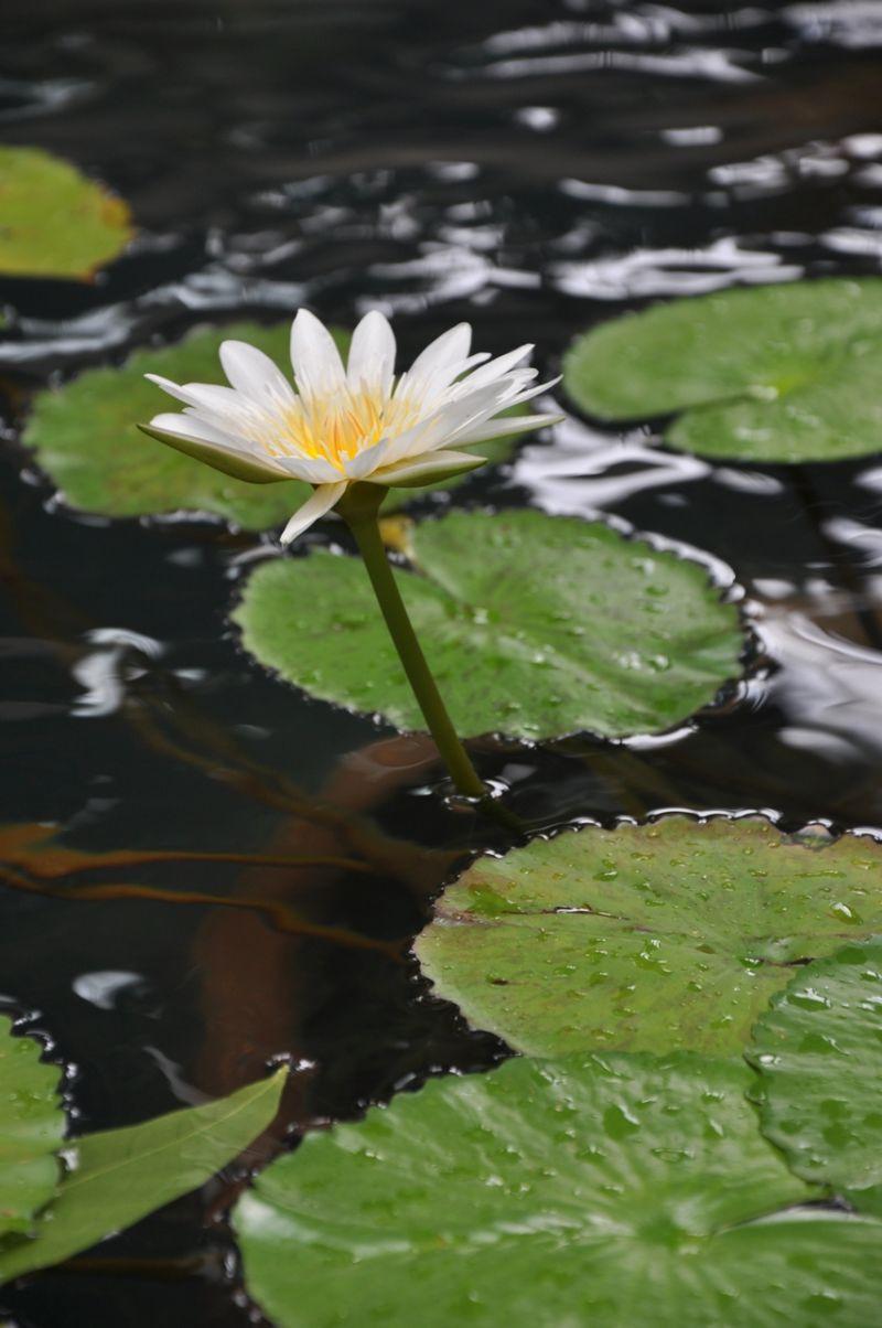 thailand flower lagoon rain