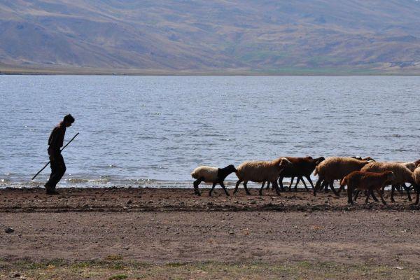 world shepherd sheeps lake