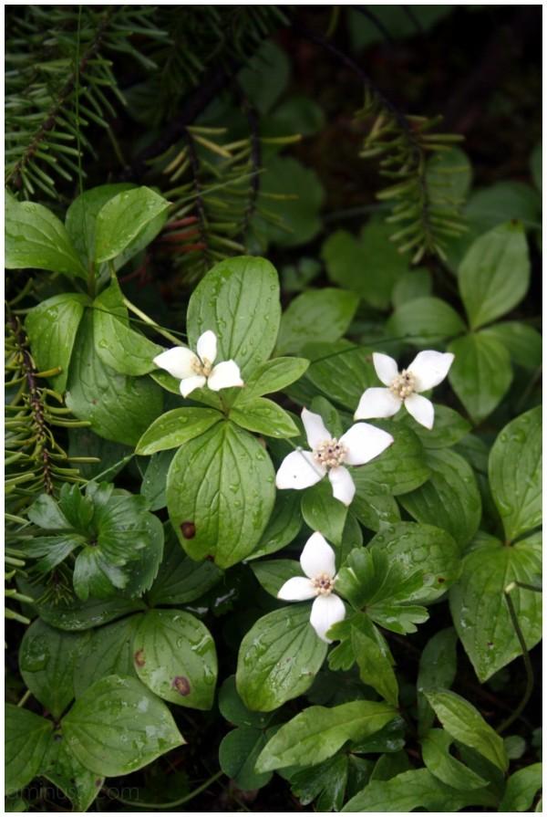 Alpine flower - bunchberry