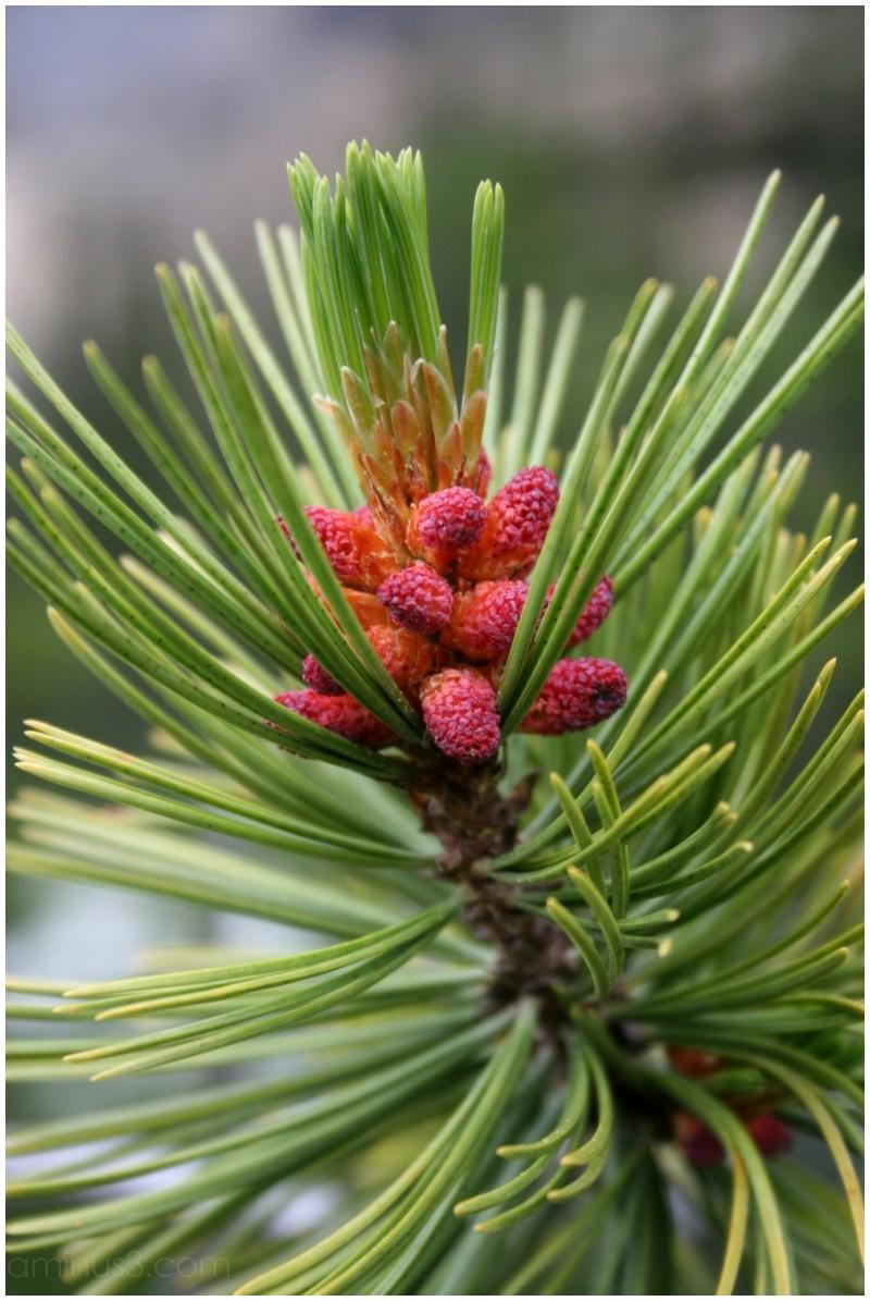 Conifer pollen cones