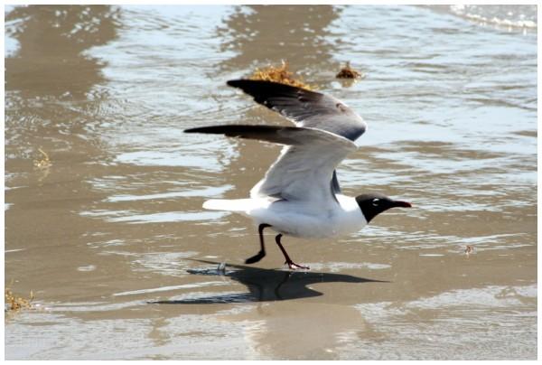 Seabird at Corpus_Christi