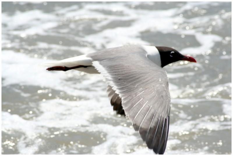 Seabird at Corpus Christi