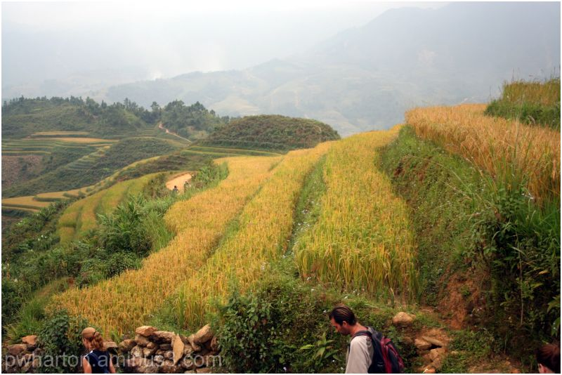 Rice ready for harvest in the terraces