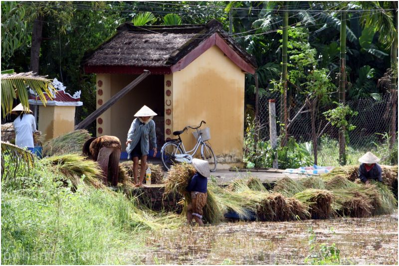 Women harvesting - Vietnam