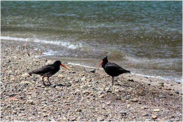 Oystercatchers - Roberton Island