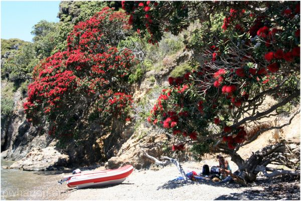 Pohutukawa in bloom - Moturura Island