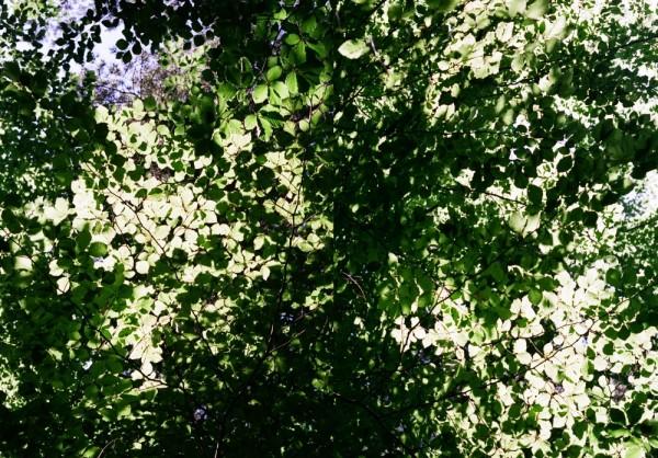 Beech tree sky
