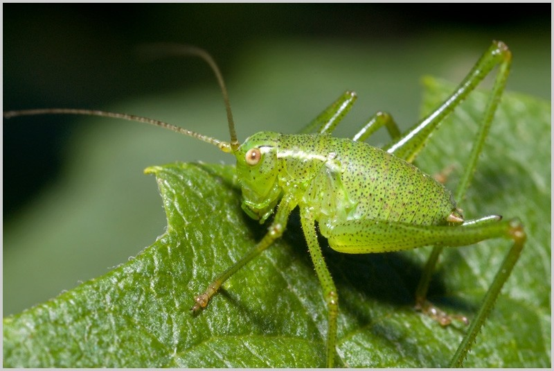 Speckled Bush-cricket (juvenile)