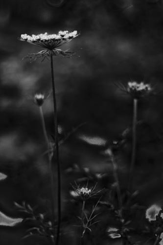 Black and white image of a flower.