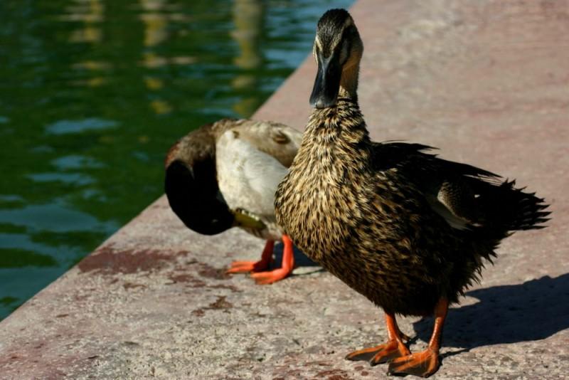 Ducks taken at El Dorado National Park