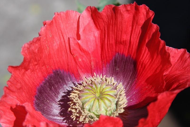 Red flower at Ballard Locks