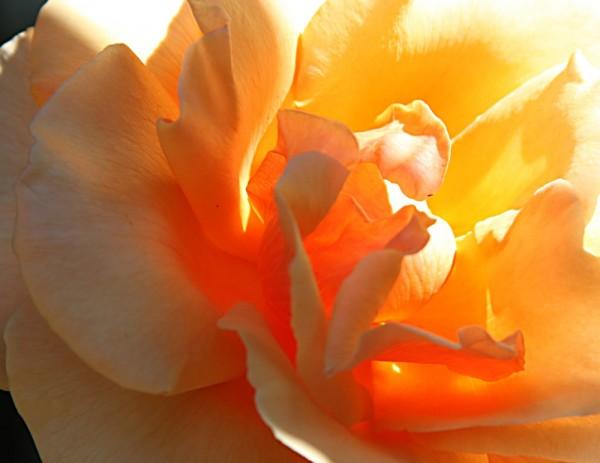 Golden rose - backlit