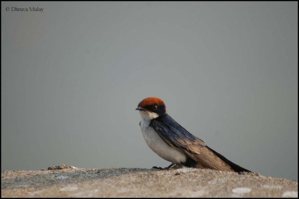 Wire Tailed Swallow