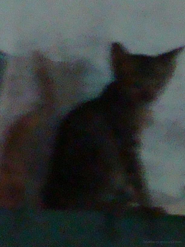 Thai Cat!