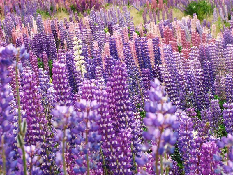 Lupins in Southland