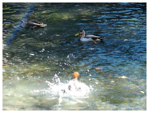 ~ daft duck ~