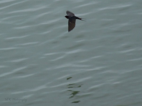 A swallow flying
