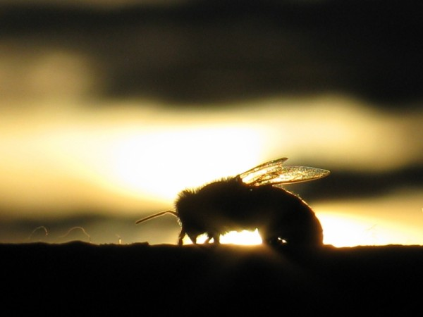 Golden feathers of bee