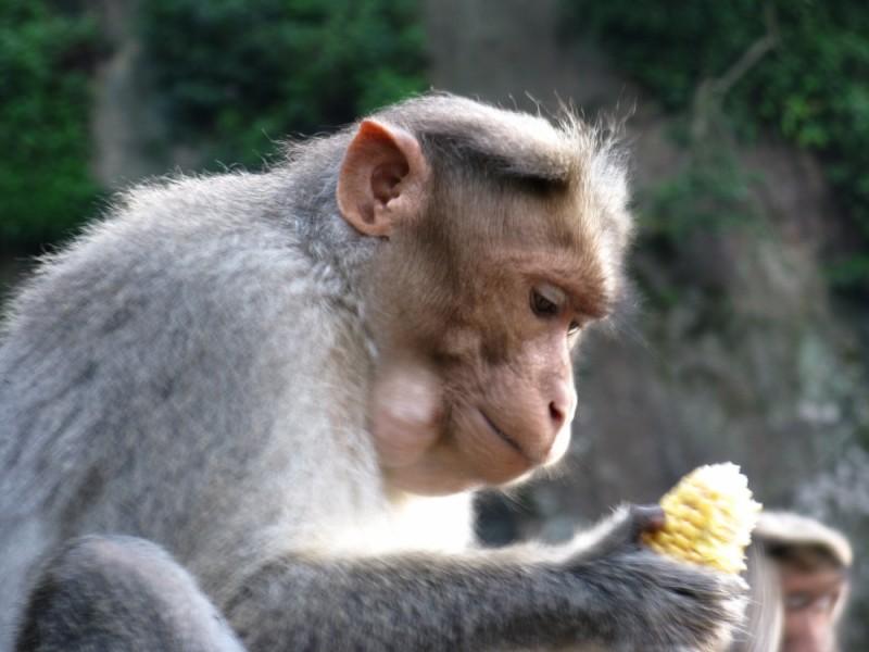 monkey at its work