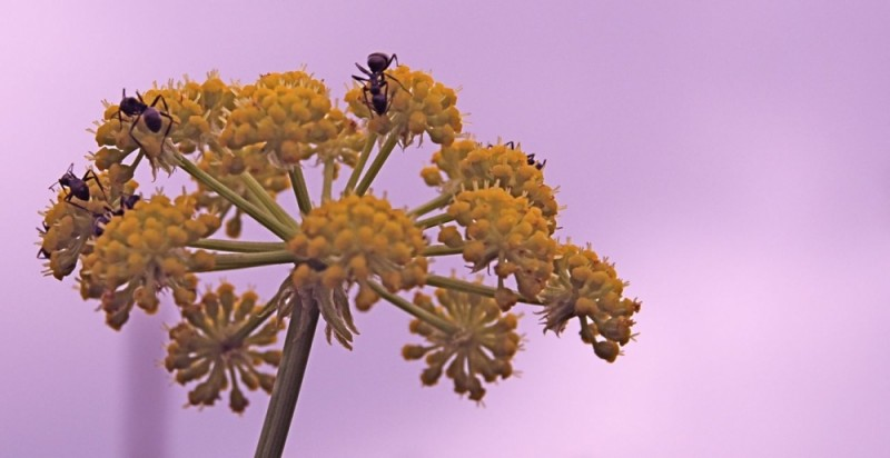 ants on celeriac flowers, after affects