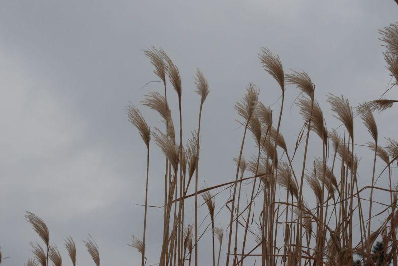 grasses against grey sky