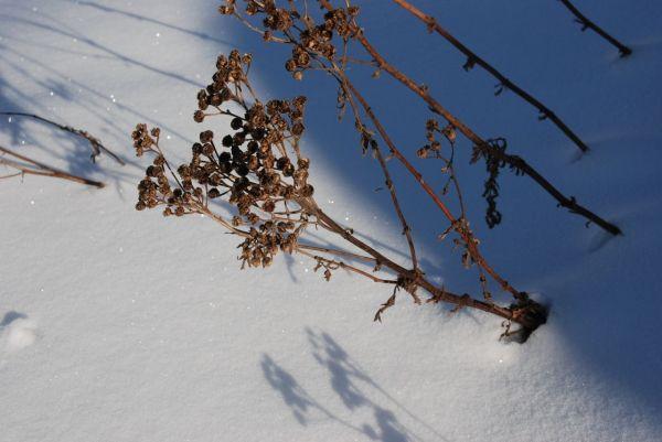 seedhead on snowbank