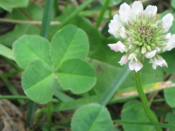 Clover, Clover, Over and Over