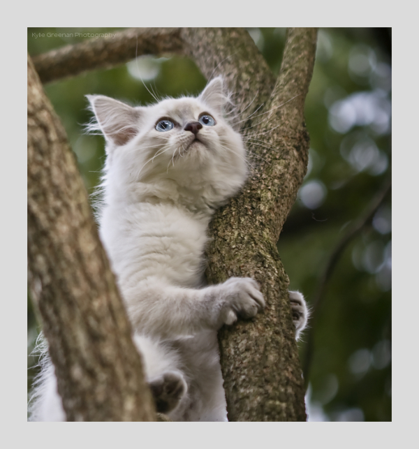 Minna, tree, hello world, ragdoll kitten,