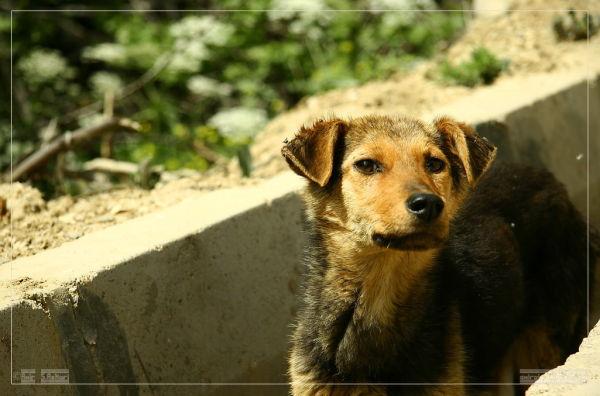 Jooby Dog