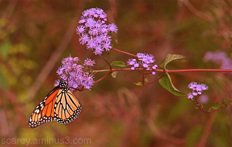 Monarch butter fly on Ageratum
