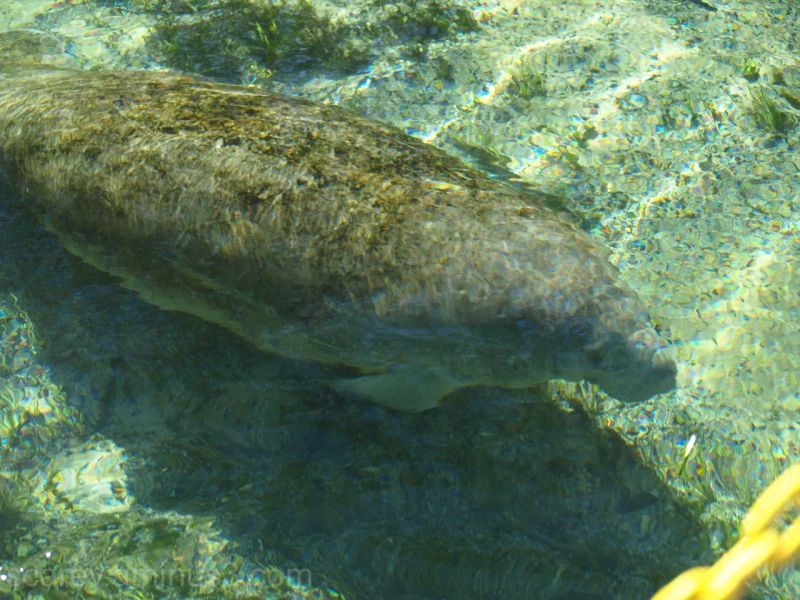 Manatee at Wakulla Springs Florida