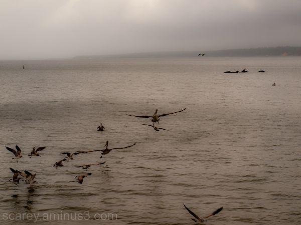 Pelican landing on Mobile Bay