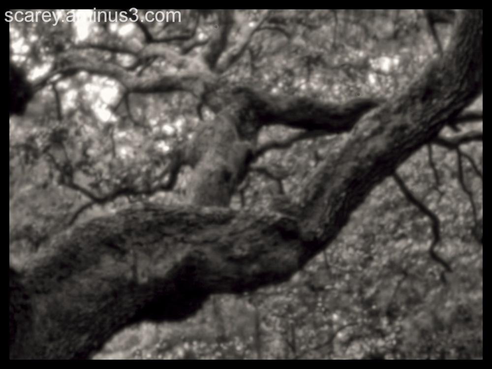 Pinhole photograph of live oak tree