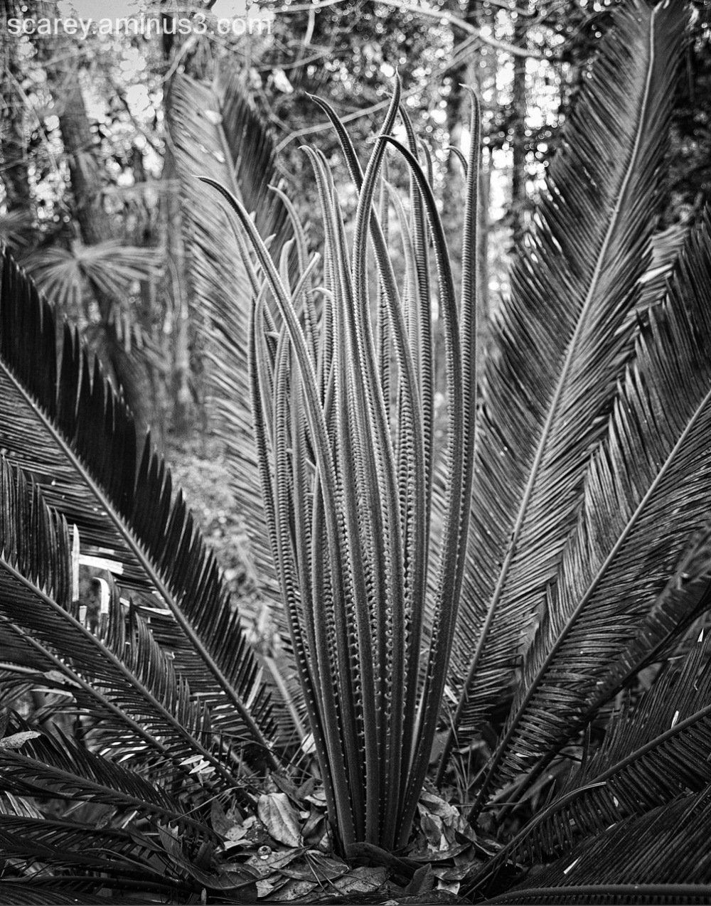 Cycad New Leaves