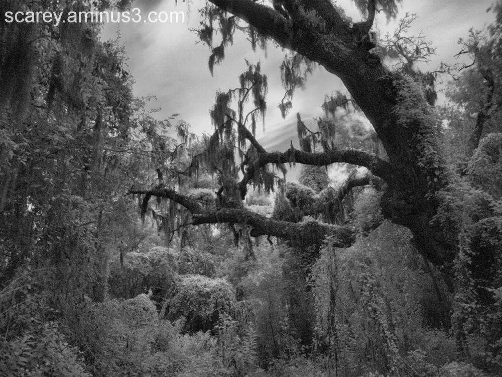 Spooky b&w photo of Spanish moss and Live Oak Tree